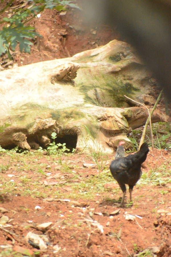 Quand la recherche de poulet un aliment photos libres de droits