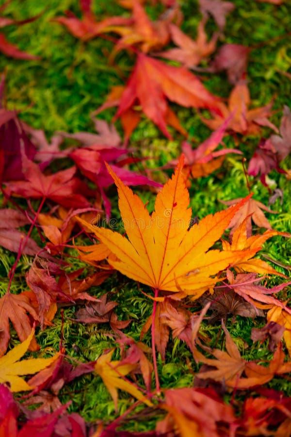 Quando as folhas de bordo caírem à terra em Kyoto, Japão fotografia de stock