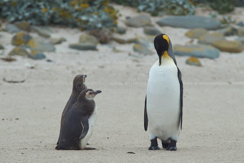 Quando eu me cresço acima queira ser um rei Penguin fotos de stock