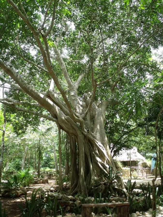 Quando gli alberi abbracciano o hanno una riunione fotografia stock libera da diritti