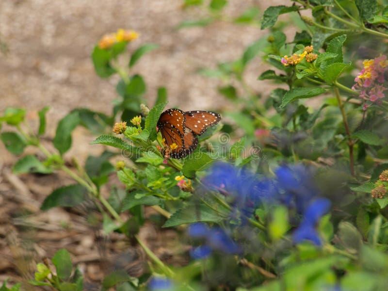 Quando os colibris sairam, as borboletas aparecidas foto de stock royalty free