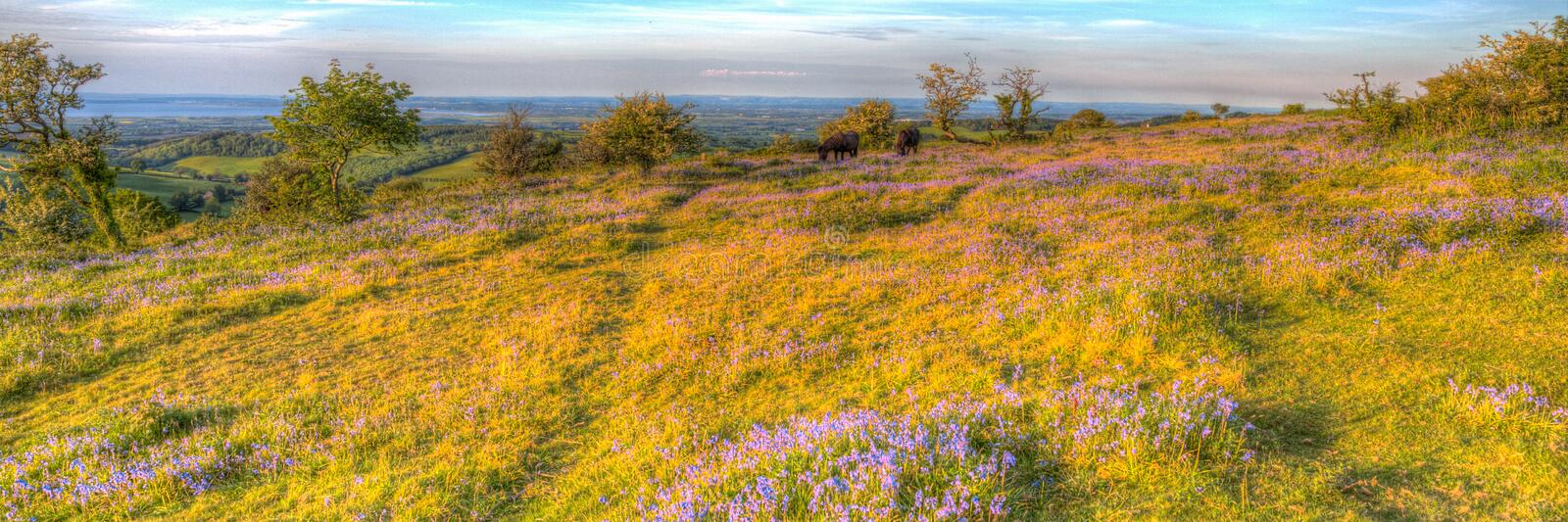 Quantock Hills Somerset bluebells and wild ponies on a summer evening in colourful HDR royalty free stock photography