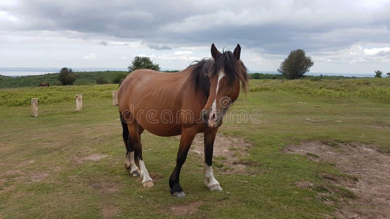 Quantocks-Pony stockfotografie