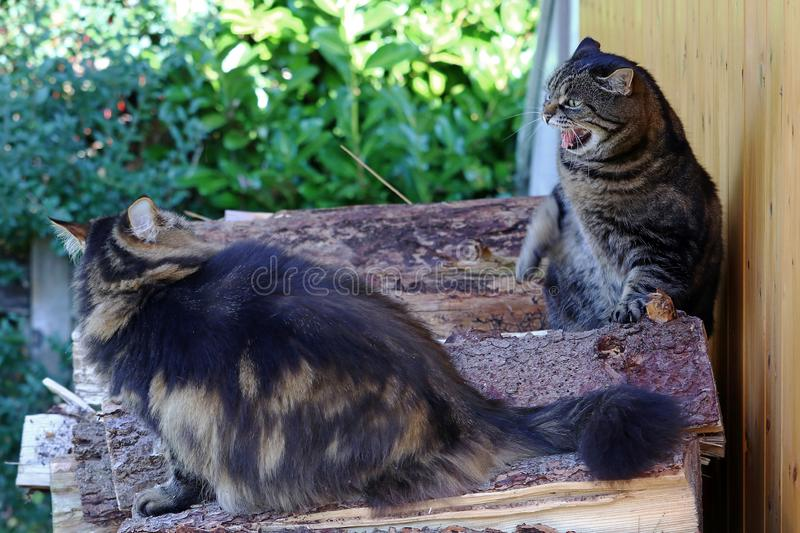 Funny cat photo with a hissing cat. A quarrel among cats. Two cats argue and one hisses. Funny cat photo with a hissing cat royalty free stock photography