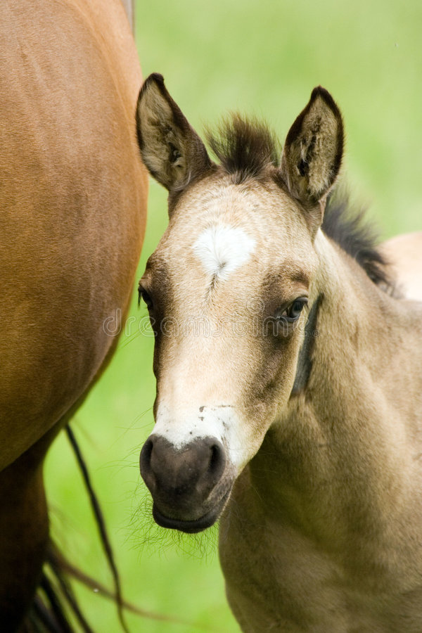 Quarter horse foal stock photography