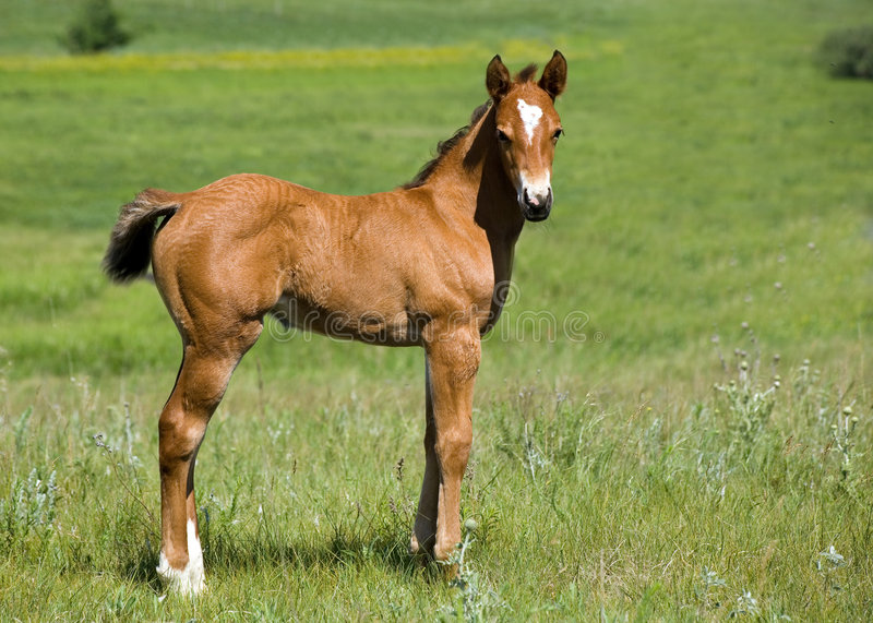 Quarter horse foal royalty free stock photography