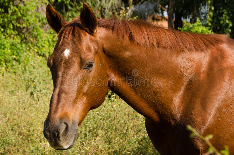 Quarter Horse head portrait. Face , neck and withers of Quarter Horse/ Thoroughbred mix chestnut horse royalty free stock photography