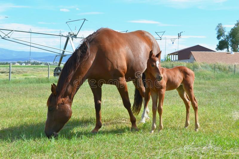 Quarter Horse Mare and Filly. Quarter Horse Mare grazing with her Filly in a grass pasture stock images