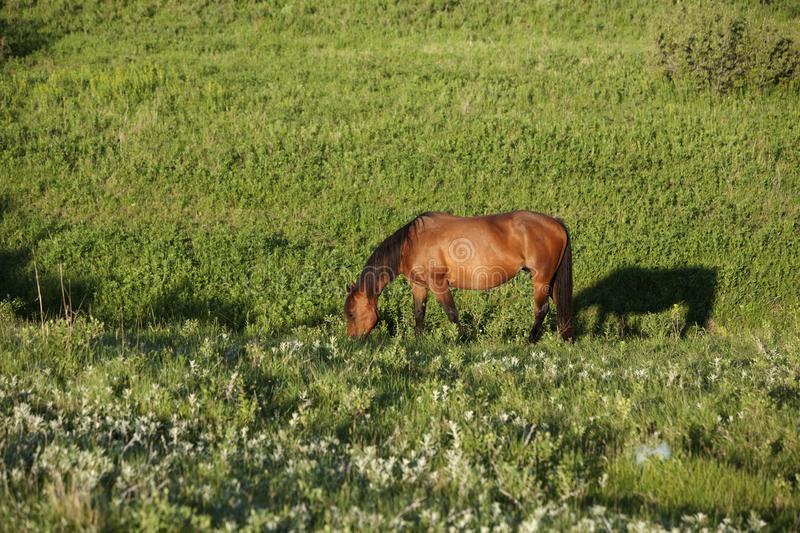 Quarter horse mare grazing in green pasture in summer with shadow. stock photo