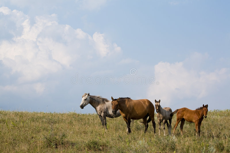 Quarter horse mares and foals. Is green pasture with blue sky and clouds. Horizontal view stock photos