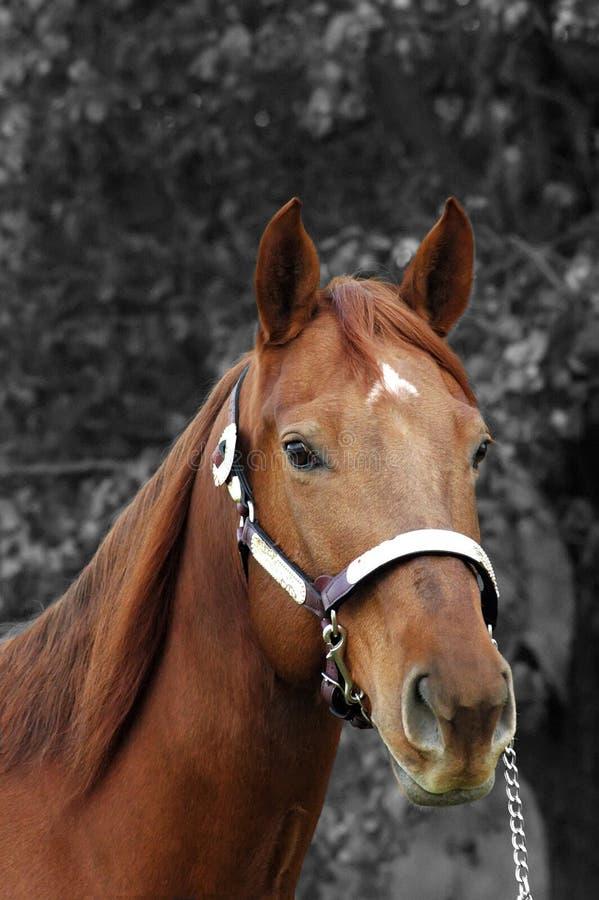 Free Quarter Horse Stallion Stock Image - 3609521