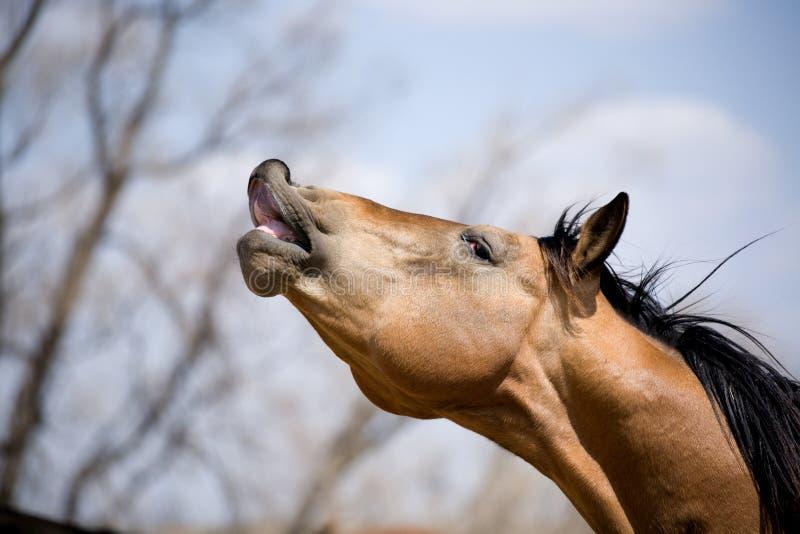 Quarter horse stallion sniffing