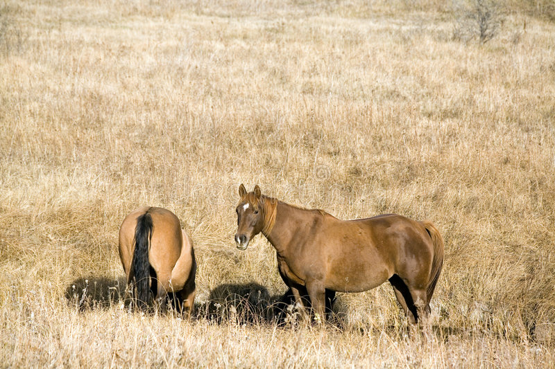 Quarter horses in fall pasture stock images