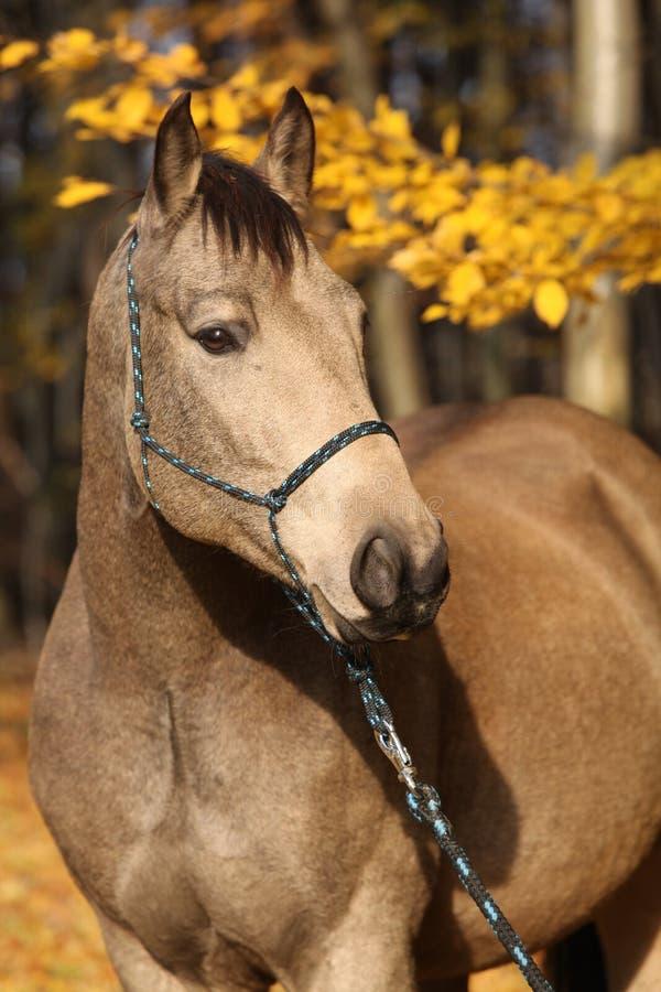 Quarterhorse mit Seil Halter im Herbst lizenzfreie stockbilder