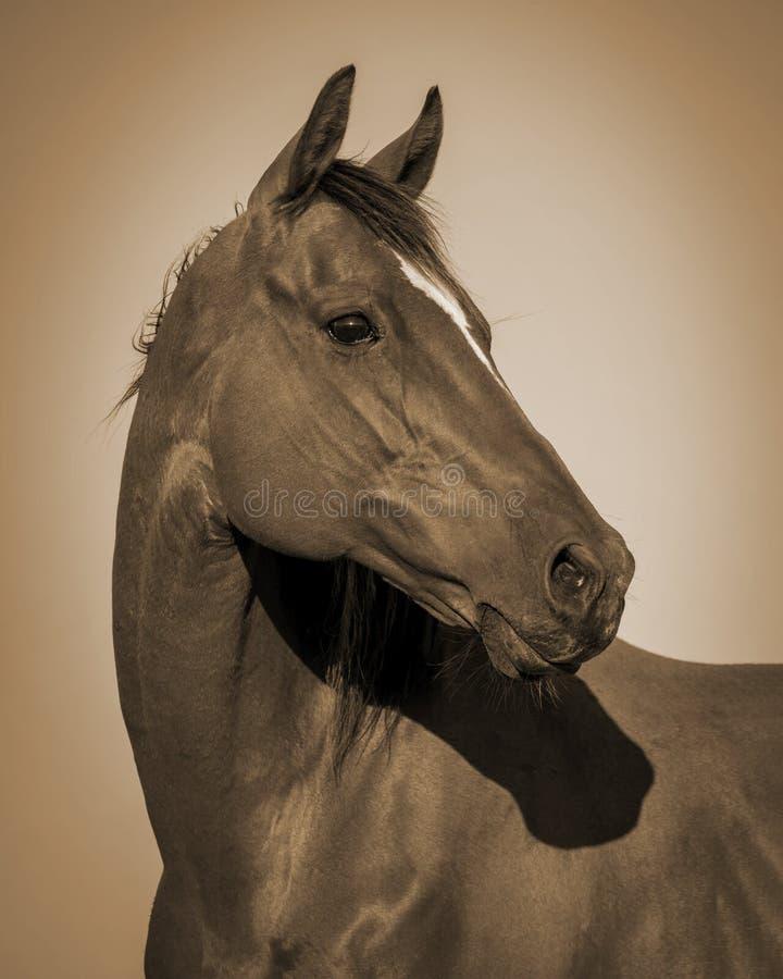 Quarterhorse - Sepia lizenzfreie stockbilder