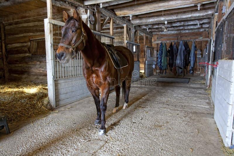 Quarterhorse in Stal stock afbeeldingen