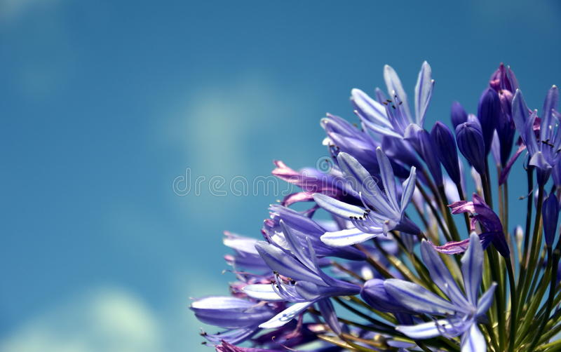Quarto do lírio do Nilo, igualmente chamado flor do lírio de Africano Azul fotos de stock