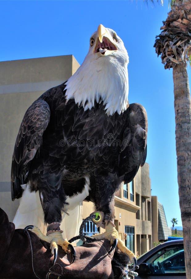 quarto giro annuale per i cavalli selvaggii del fiume Salt, Arizona, Stati Uniti del motociclo immagini stock