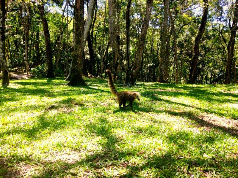 Quati żadny Parque da Ferradura obrazy royalty free
