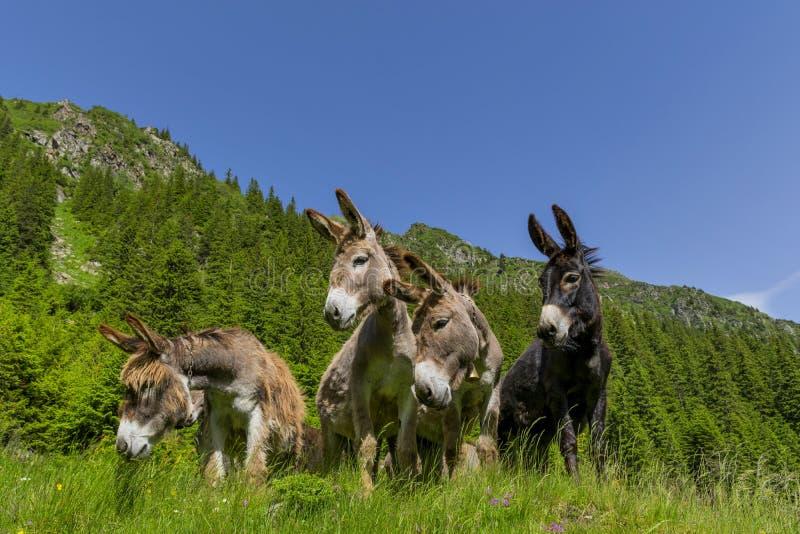 Quatre ânes drôles curieux en montagnes carpathiennes image libre de droits