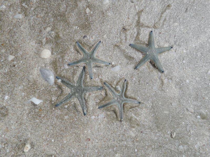 Quatre étoiles de mer image stock