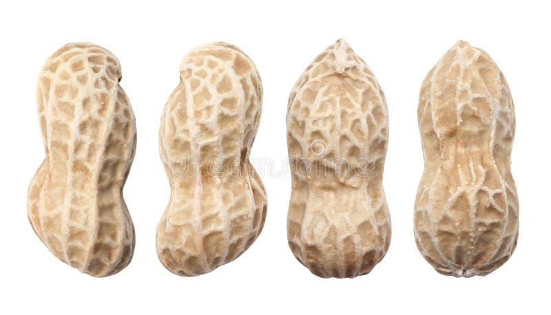 quatre arachides fraîches photo libre de droits