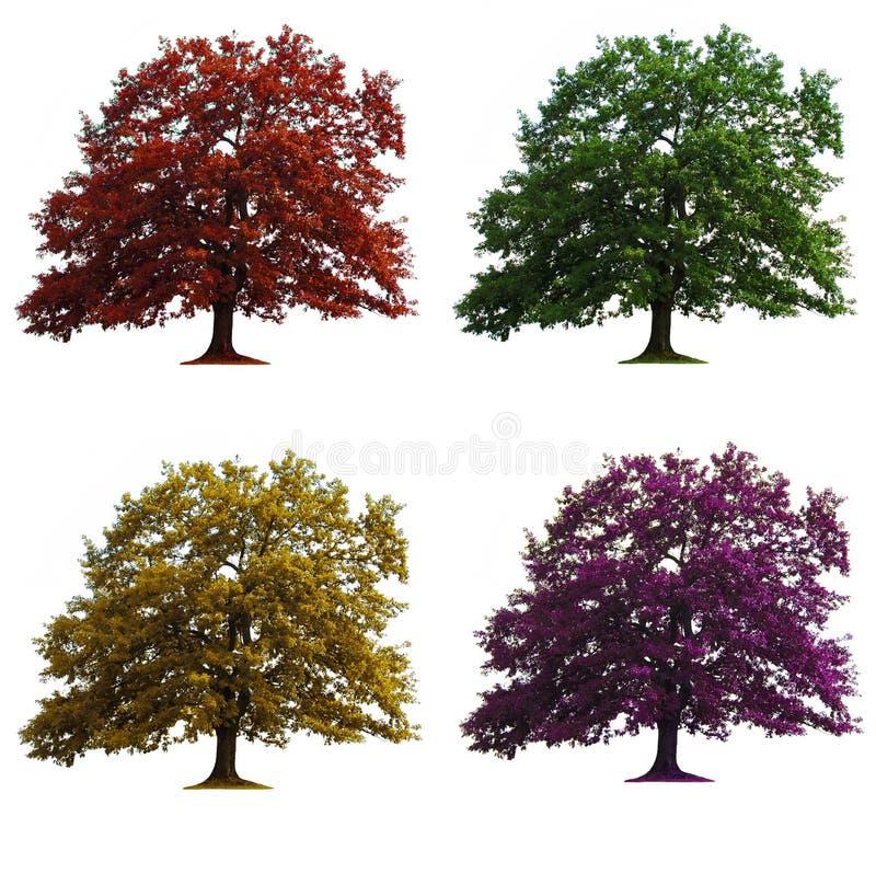 quatre arbres de chêne d'isolement image libre de droits