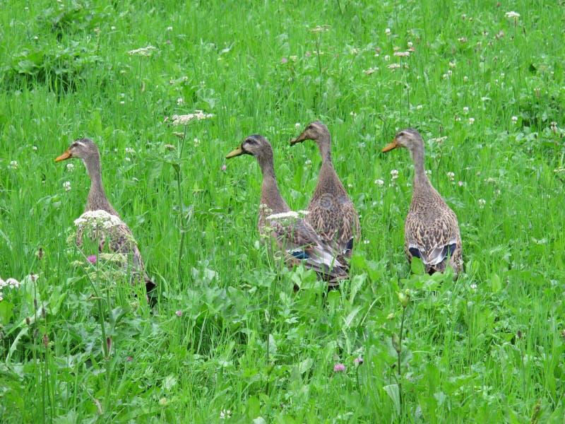 Quatre canards photographie stock libre de droits