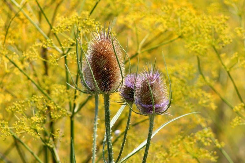 Quatre cardère sauvage ou usines de fullonum de Dipsacus de tige épineuse et têtes de fleur brunes sur le fond jaune de fleurs photos libres de droits