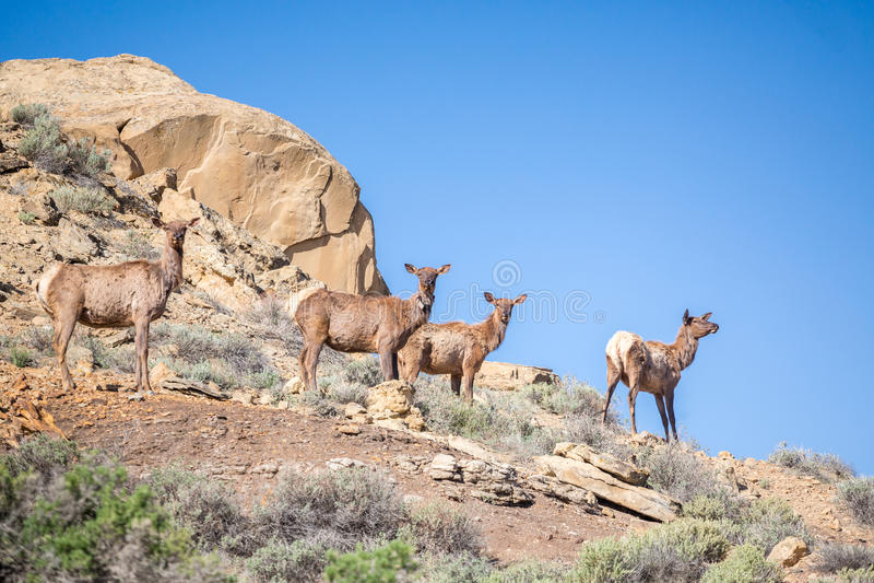 Quatre cerfs communs, élans sur les montagnes images libres de droits