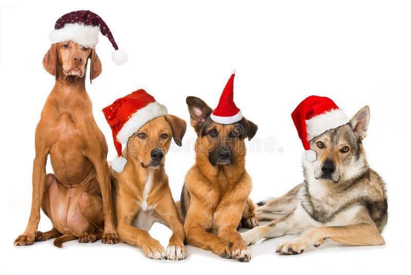 Quatre chiens avec les chapeaux rouges de Santa images stock