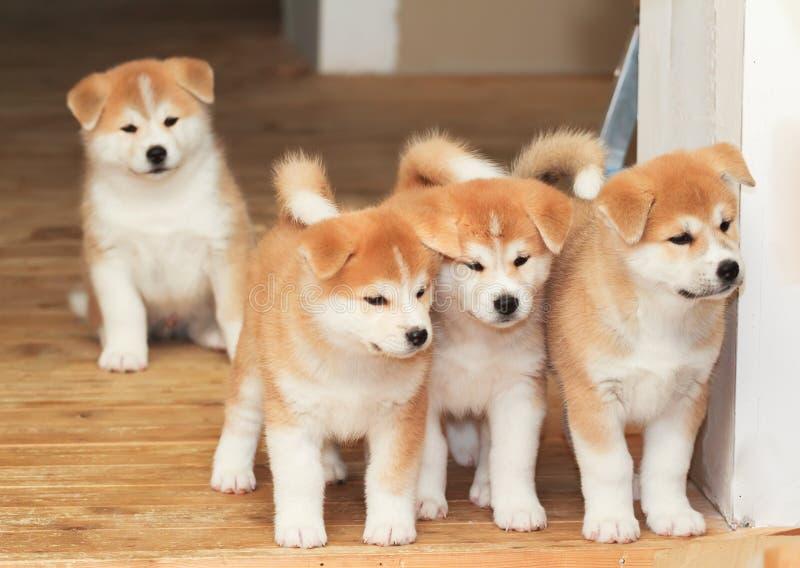 Quatre chiots de chien de race d'akita-inu de Japonais photos stock