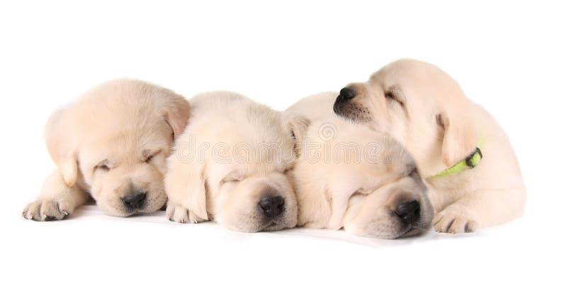 Quatre chiots de sommeil photographie stock libre de droits