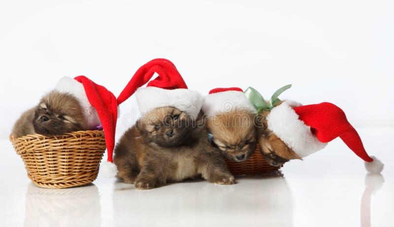 Quatre chiots de Spitz de Pomeranian dans des chapeaux de Santa photographie stock libre de droits