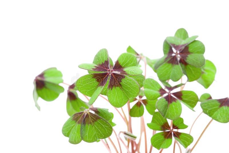 Quatre feuilles de trèfle Leaved photographie stock
