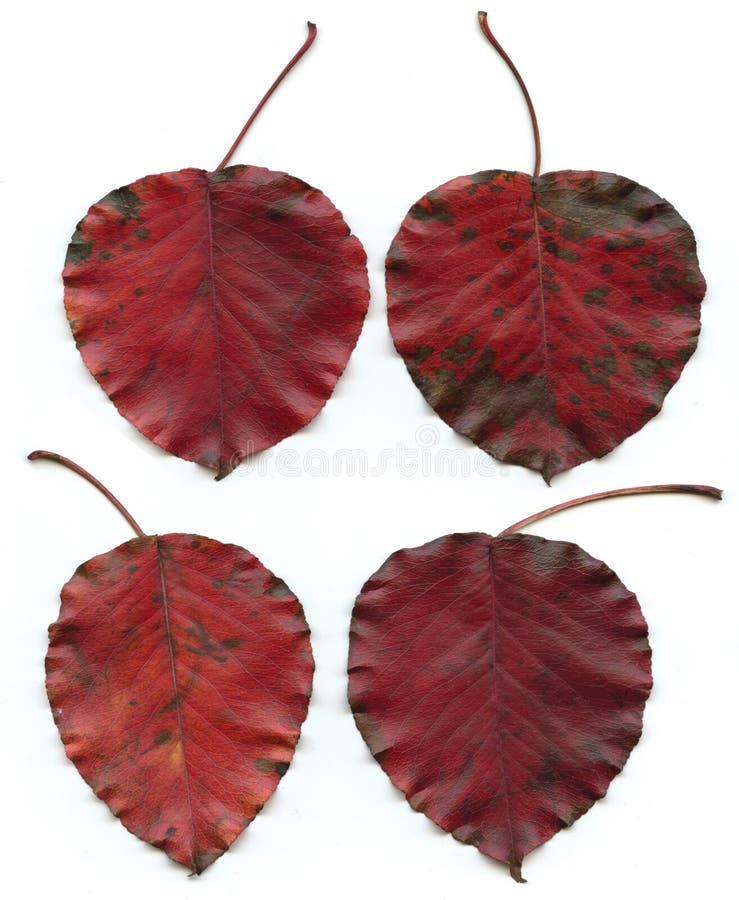 Quatre feuilles rouges images stock