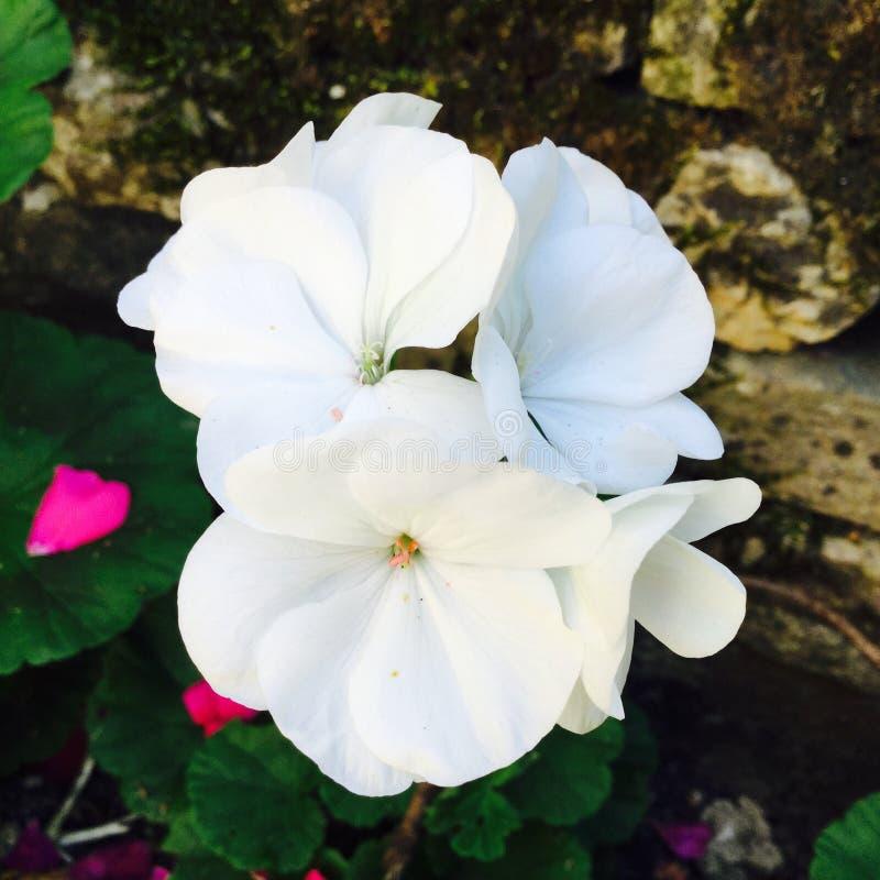 Quatre fleurs blanches images libres de droits
