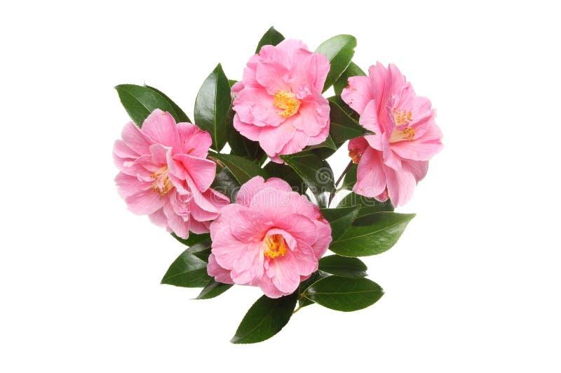 Quatre fleurs de camélia images stock