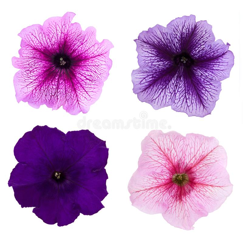 Quatre fleurs différentes de pétunia d'isolement sur le fond blanc image stock
