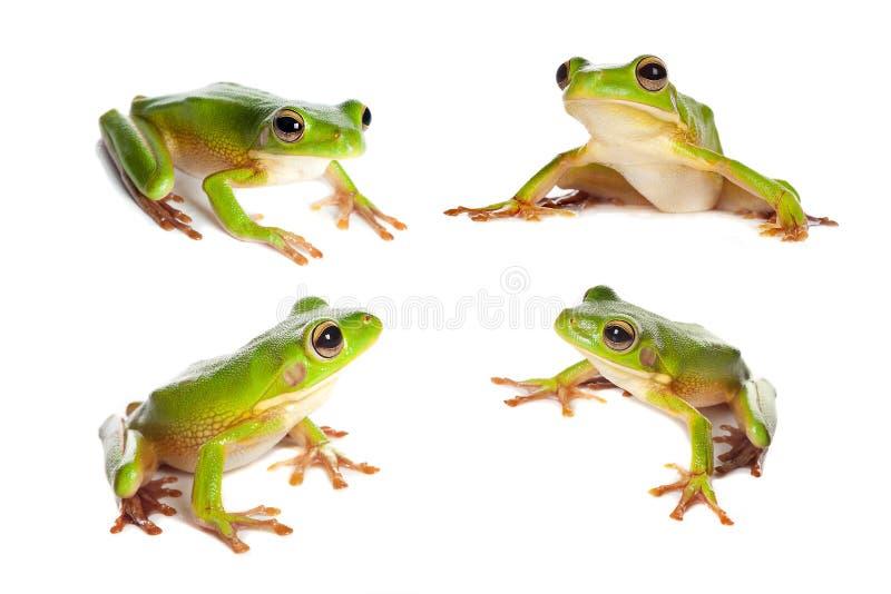 Quatre grenouilles sur le blanc photos libres de droits