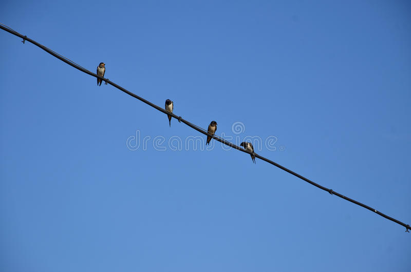 Quatre hirondelles se reposent sur un fil images libres de droits