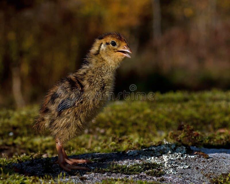 Quatre jours cailles, cognassier du Japon de Coturnix photographié en nature photographie stock