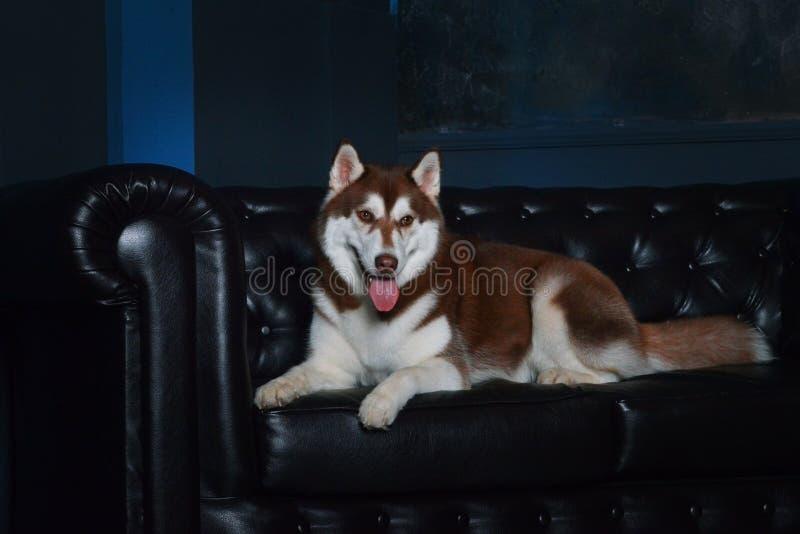 Quatre modèles - chiens enroués sibériens de race photo stock