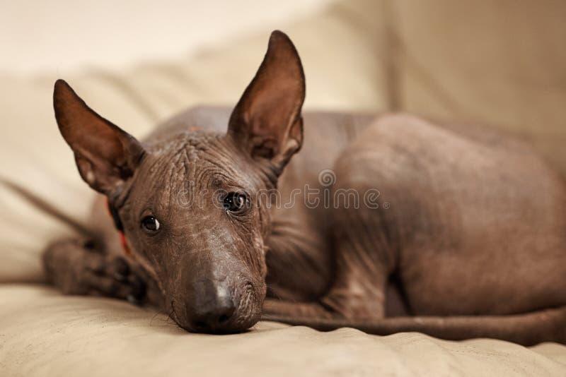 Quatre mois de chiot de race rare - Xoloitzcuintle, ou chien chauve mexicain, taille standard Portrait haut étroit de la pose de  photographie stock libre de droits