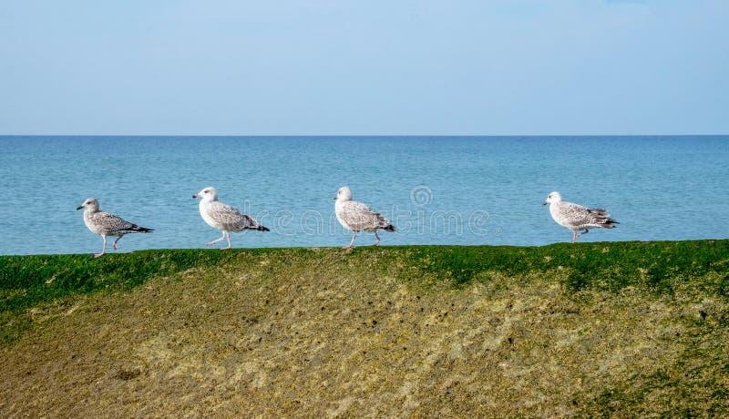 Quatre mouettes se tenant dans une rangée sur un mur de mer images stock