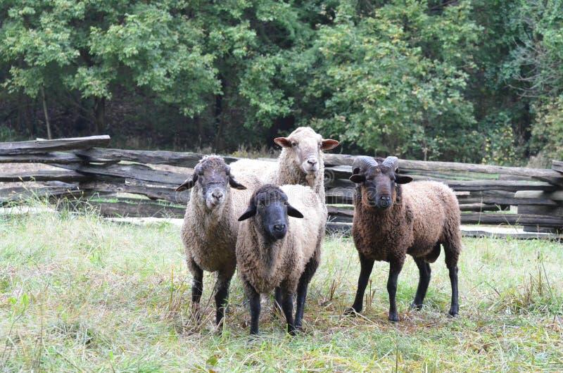Quatre moutons images stock