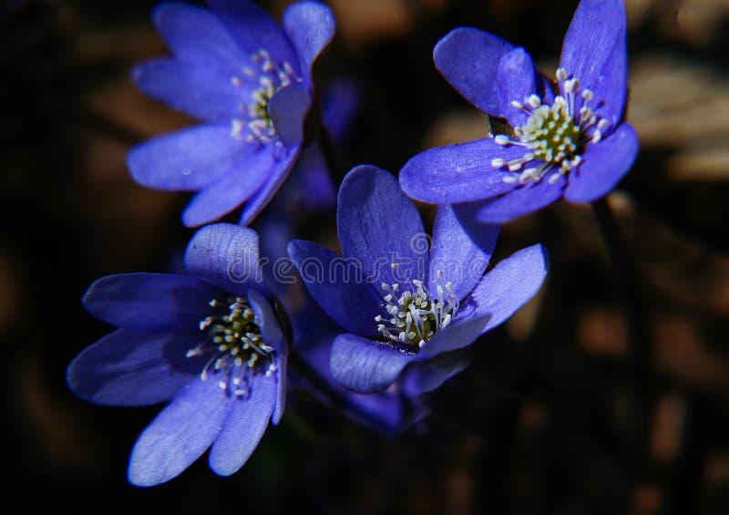 Quatre nobilis bleus de Herpatica de fleur bas photo stock