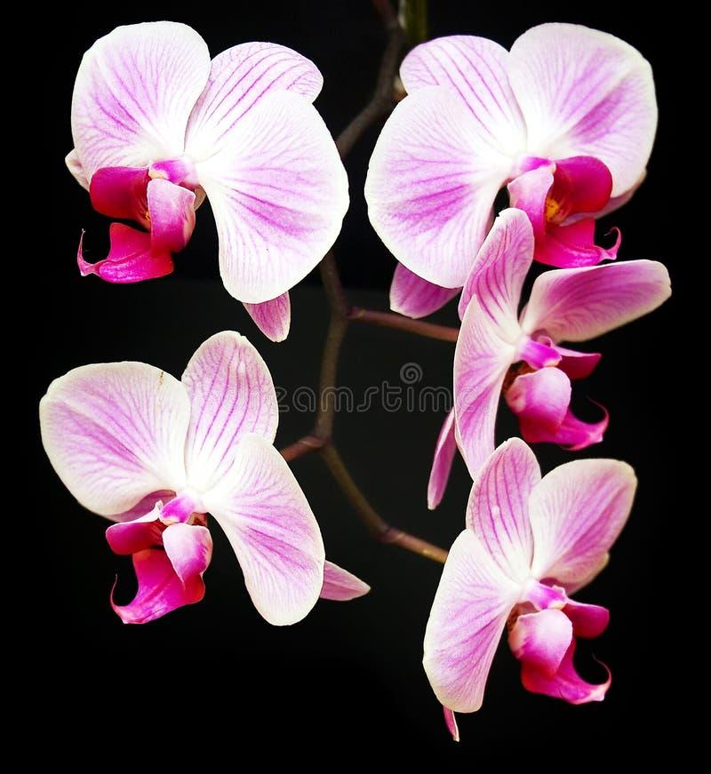 Quatre orchidées photographie stock
