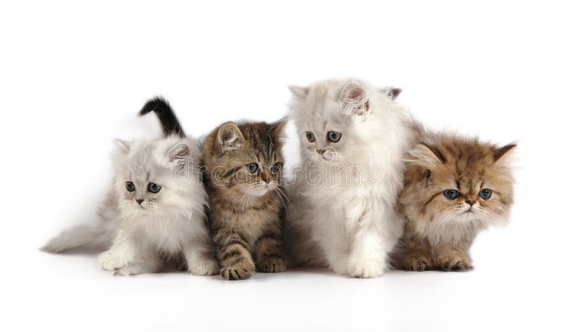 Quatre petits chatons persans photos stock