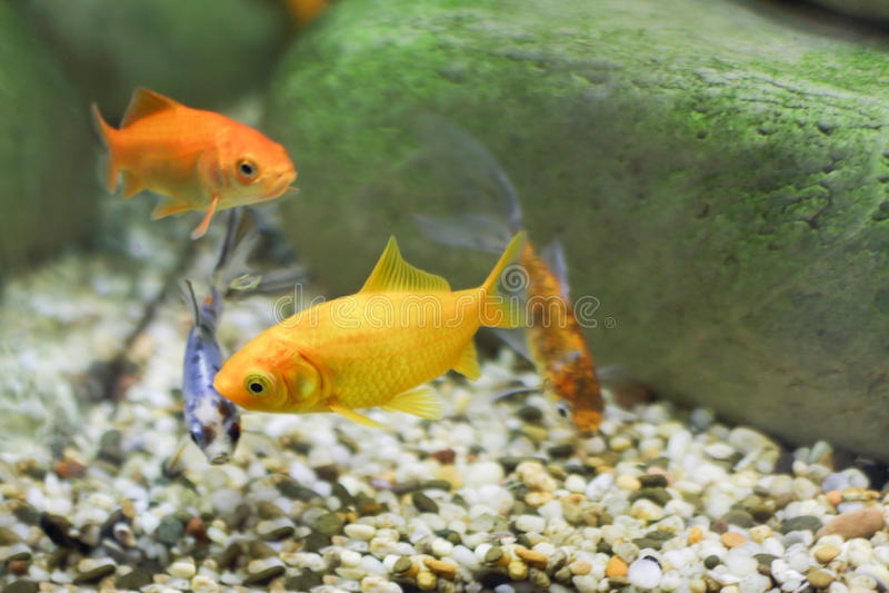 Quatre petits poissons, deux dont sont la couleur jaune lumineuse photos libres de droits